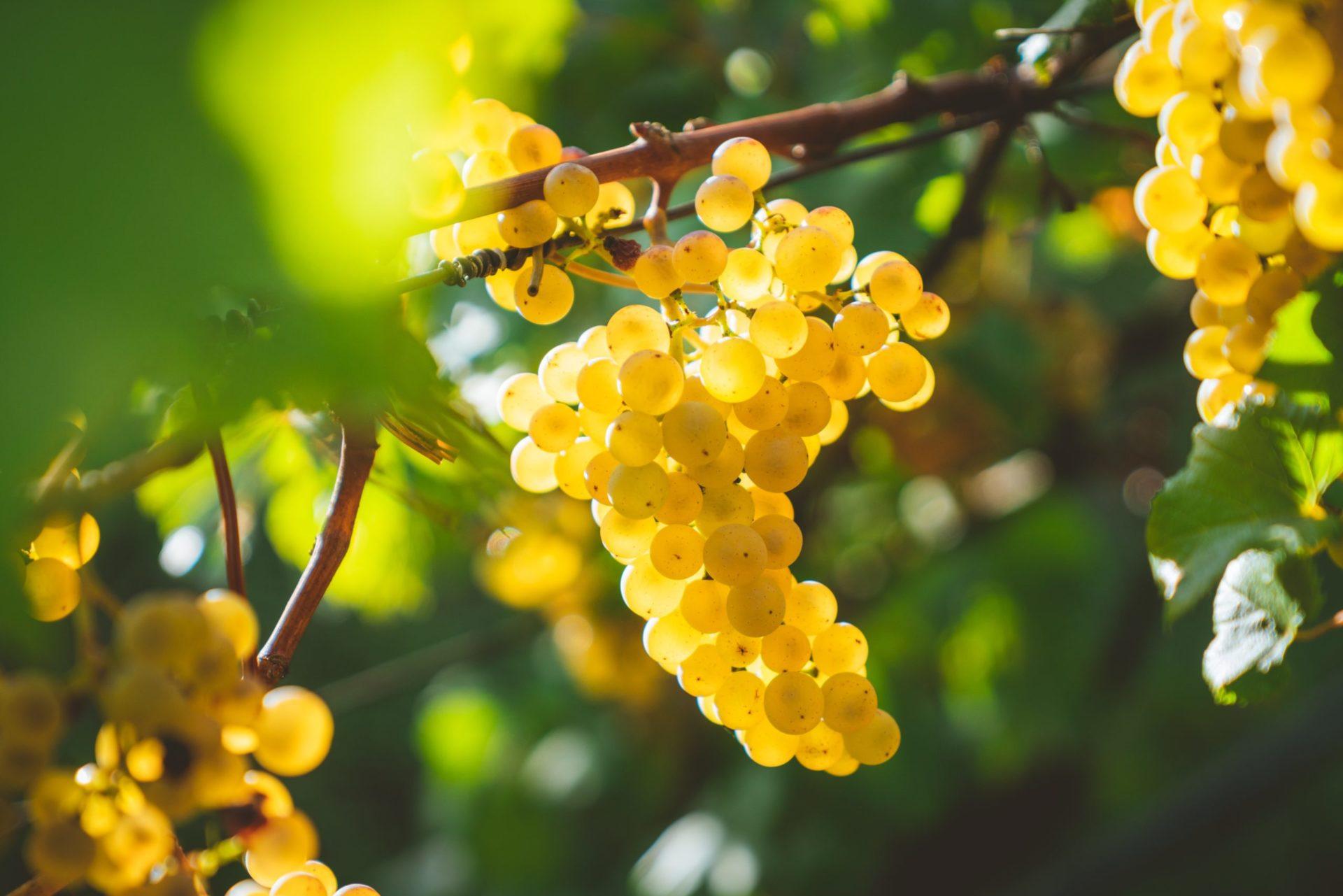 白ワイン用の主要ブドウ品種8個とその特徴をわかりやすく解説します!【ワイン入門編】